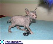Донские сфинксы 17377f97e458t