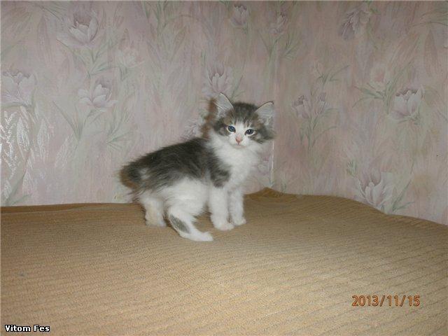 Котята Курильского бобтейла 3901427e602e