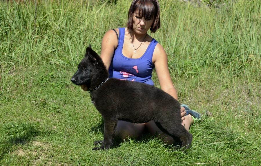 Щенки немецкой овчарки Черного окраса! C7692c55f50e