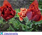 Тюльпаны - Страница 2 F60cdbad9b5dt