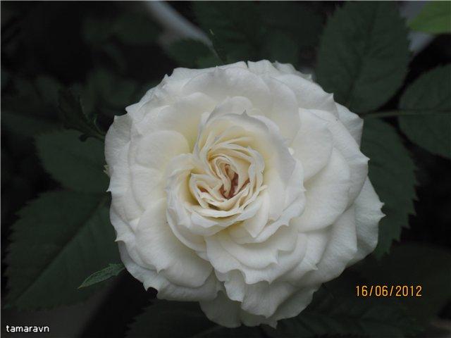 Розы в комнатной культуре - Страница 5 63b37b66a1f2