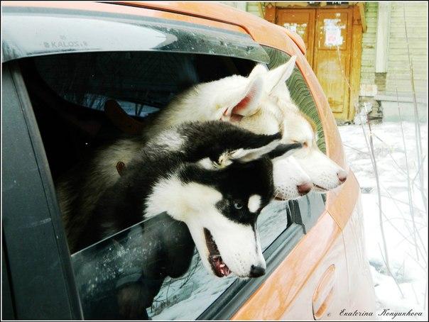 Siberian huskies in Russia. 0754d7c37861