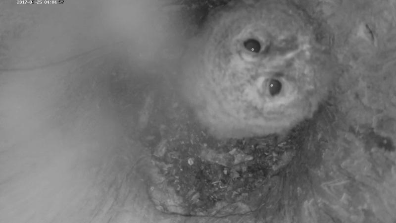 Estonian Tawny Owl Webcam 2017-2018 - Page 2 2735a71b5650