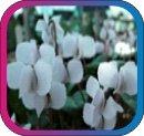 продам семена экзотических растений - Страница 3 Cbe348e61cb6