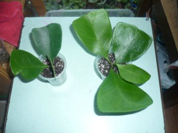 декоротивно-лиственные и красивоцветущие растения - Страница 3 Ebe119ade320