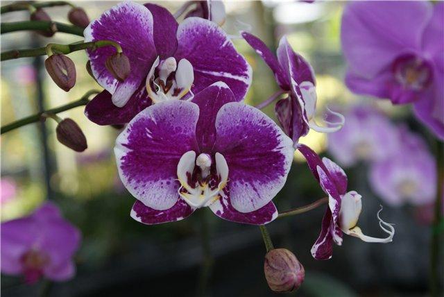 Орхидеи и прочая красота на о. Пхукет - Страница 19 B718df22b698