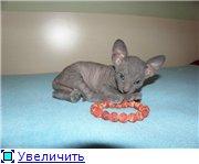 Донские сфинксы 1055096877b1t