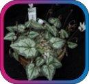 продам семена экзотических растений - Страница 3 Caf743dfdd6d