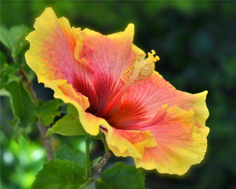 ГИБИСКУСЫ (Hibiscus rosa-sinensis Linn)  D16f6b9c5c94