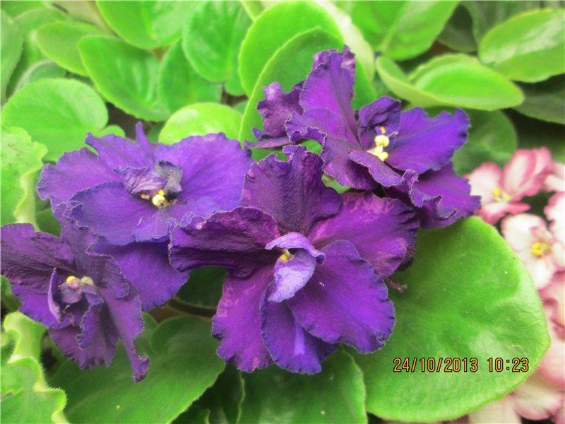 ЕК-Дикая Орхидея (Коршунова) B6800478b5ce