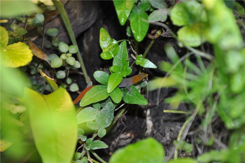 Американские карликовые гекконы 4adee5b31429