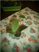 Заказ  от exoticplantsasia-2013. Отзывы.советы по адаптации. - Страница 9 8718b2d77f7bt