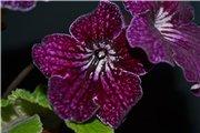 Семена глоксиний и стрептокарпусов продам 5492d43b8b23t