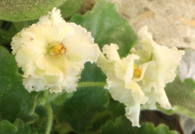 Mellow Yellow (Sorano) 06deb741b521
