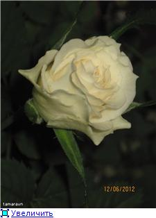 Розы в комнатной культуре - Страница 5 1d08fd4cb10ft