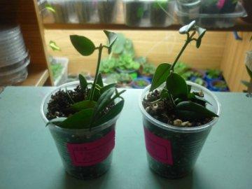 декоротивно-лиственные и красивоцветущие растения - Страница 4 Fe8423646d74