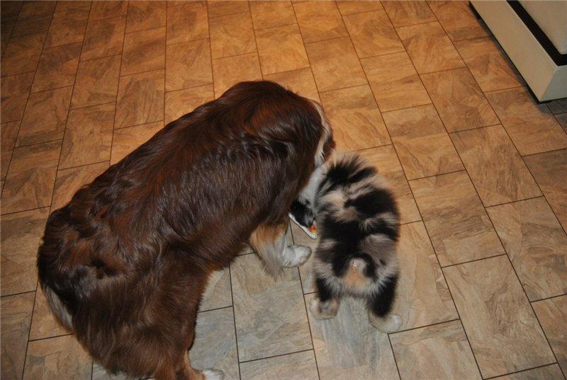 Мои аусси - Зефир и Мисси.....и немного их тусовки - джек рассел, хаски, маламут и акита... 4ce0700f5091
