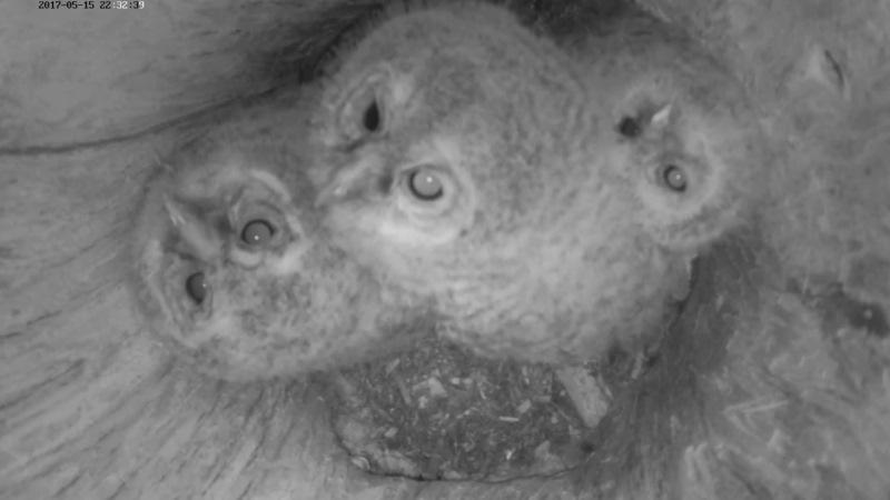 Estonian Tawny Owl Webcam 2017-2018 - Page 2 9a7210e2d852