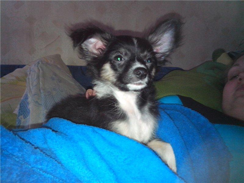 Идентификация собаки -чихуа или нет? - Страница 2 9662a4477184