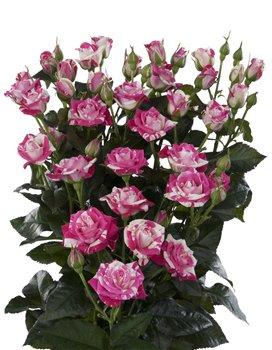 Поздравляем с Днем Рождения Марину (Kroha O) 32c679872c8et
