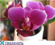 Фаленопсисы гибридные - Страница 3 12acf372615ft
