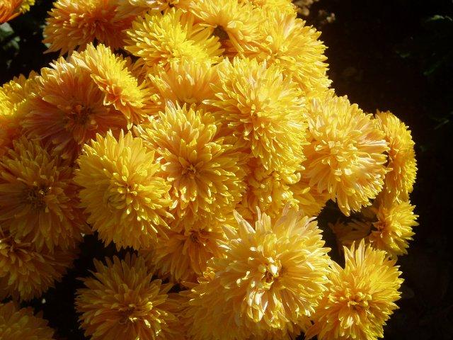 Парад хризантем в Никитском ботаническом саду. Крым  - Страница 2 D292ba1b0f0b