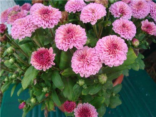 Які квіти прикрашають Ваші ґанки, підвіконня, балкони? 84cbddcaf9a5