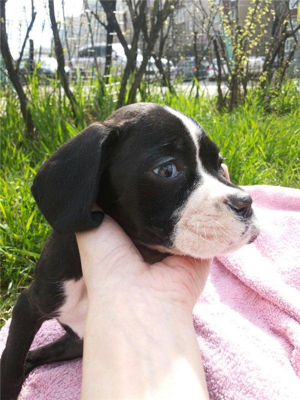 Москва, Элли,щенок боксера, рождена 17 февраля 2016 года. Неоспароз. F58c94a74cf0