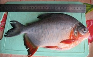 Южно-американскую пиранью выловил и съел рыбак в Кузбассе 91f9748f56d7