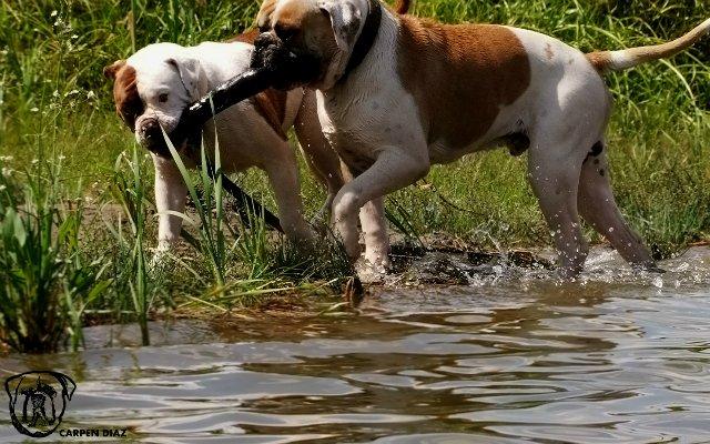 Собаки питомника Carpen Diaz - Страница 2 250c25faf5ca