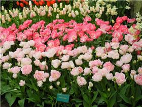 Рай тюльпанов или Кёкнхов - 2012 635187b64bb6t
