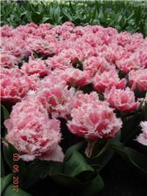 Рай тюльпанов или Кёкнхов - 2012 E0b9f07f78bct