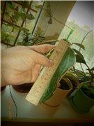 Hoya macrophylla 83f7b86b199dt