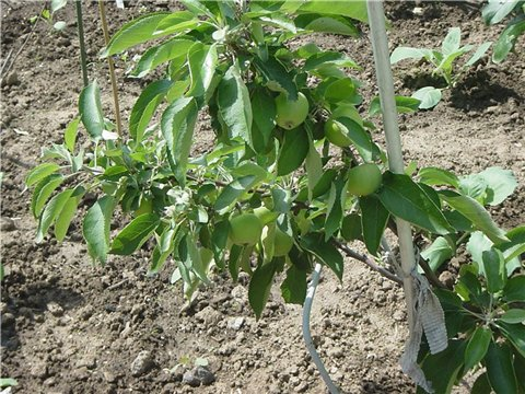 Яблоня: сорта и агротехника. - Страница 7 3aa68e5aa170t