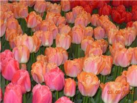 Рай тюльпанов или Кёкнхов - 2012 1b862fb8fc1dt