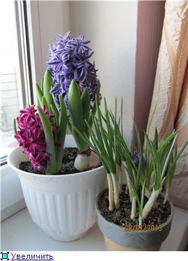 Выгонка луковичных. Тюльпаны, крокусы и др. - Страница 11 103ca08a9f57t