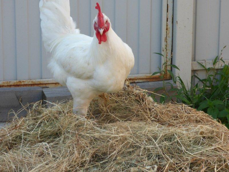 Продажа инкубационного яйца породных кур: Бресс Гальская, Ред Айленд, Карликовый Легорн, Фокси Чик 2526035cadde