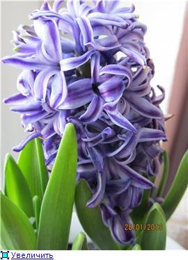 Выгонка луковичных. Тюльпаны, крокусы и др. - Страница 11 907b3ecf943ct