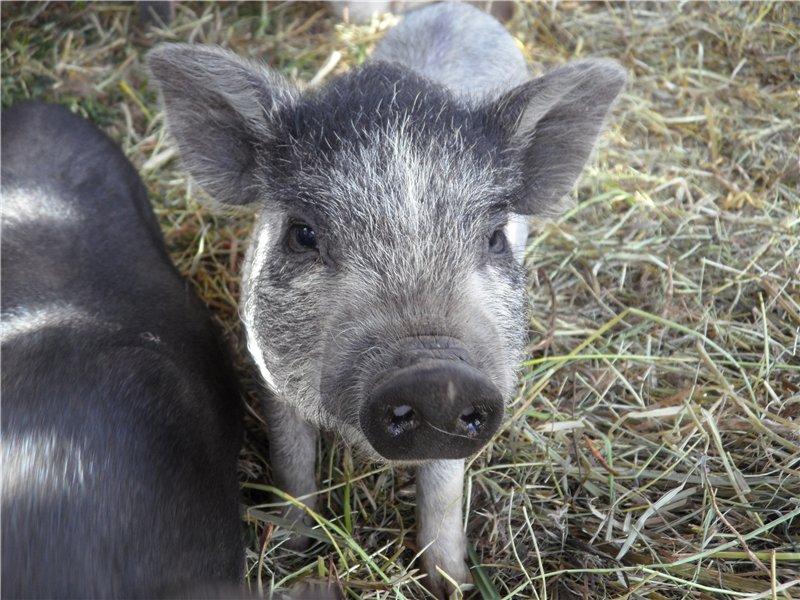 В'єтнамські вислобрюхие свині 8d73b08f6d0a