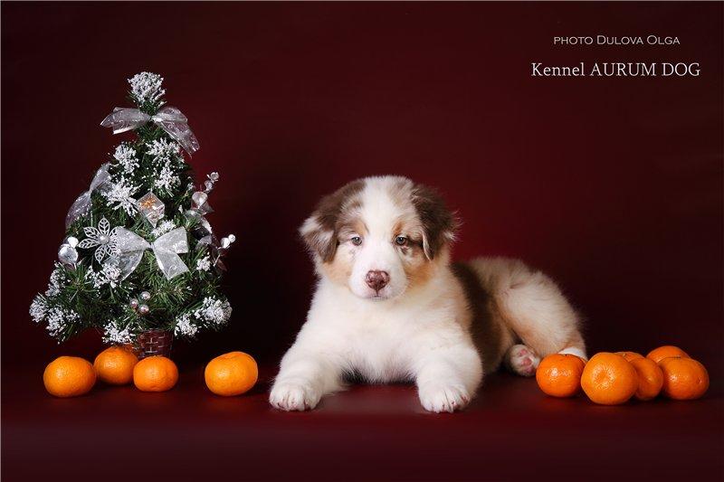 """Питомник """"Aurum Dog"""" - Страница 2 C52944c19e53"""