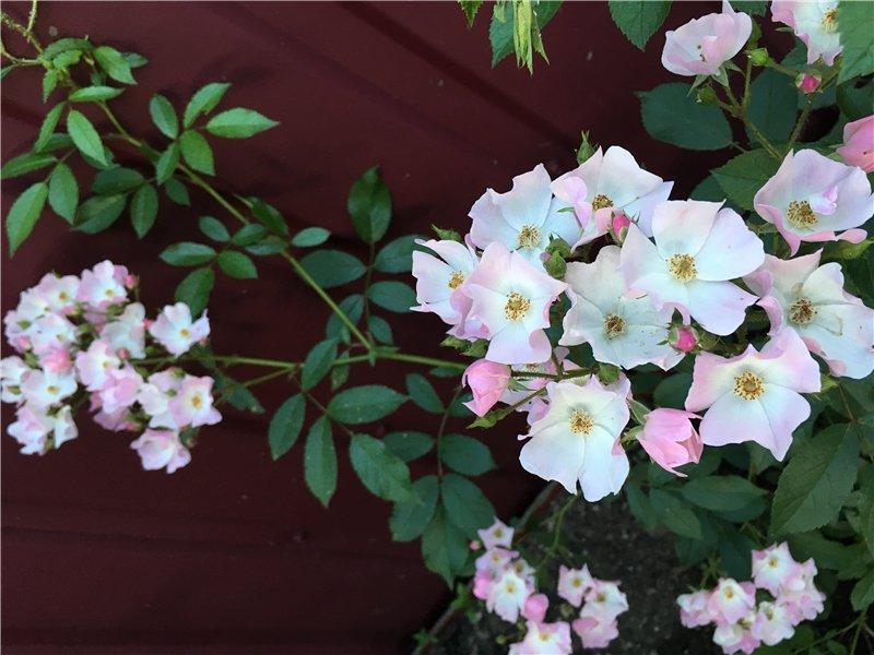 И мои хвастушки-цветушки! - Страница 37 Ef348f226daf
