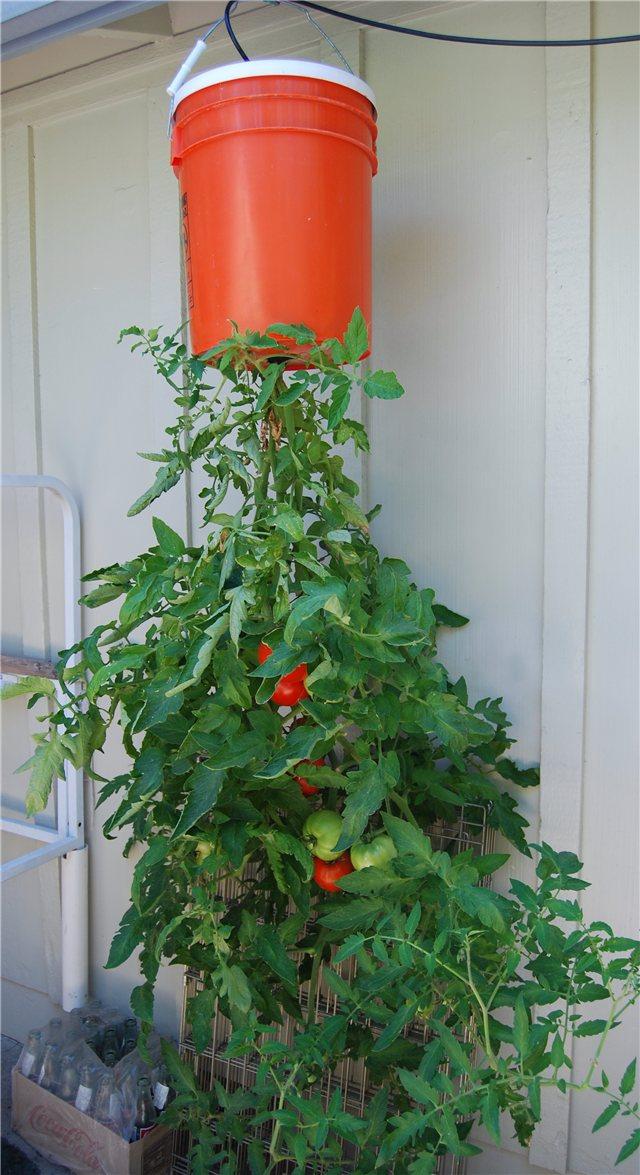 Технология выращивания помидоров (томатов) вниз головой 36a6773805fd