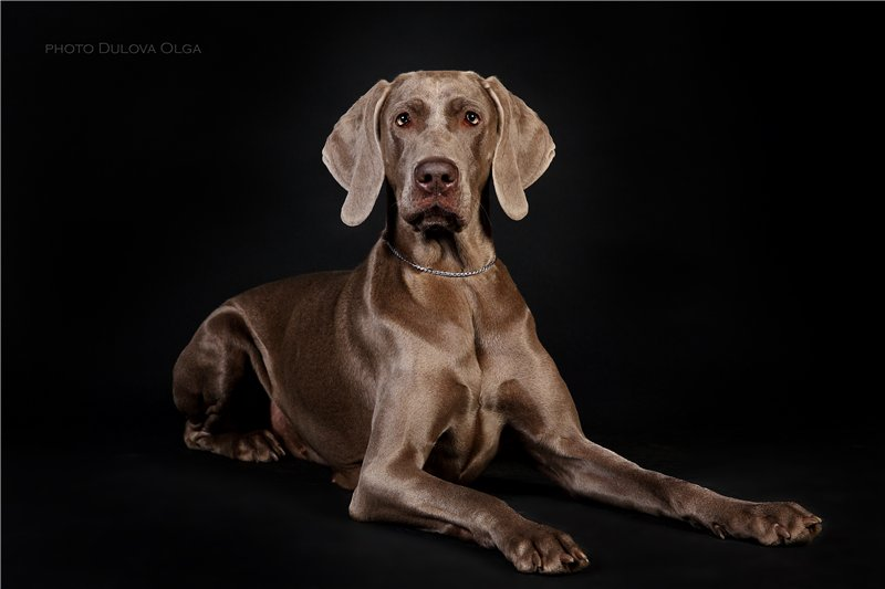 """Питомник """"Aurum Dog"""" 60e20d3296a0"""