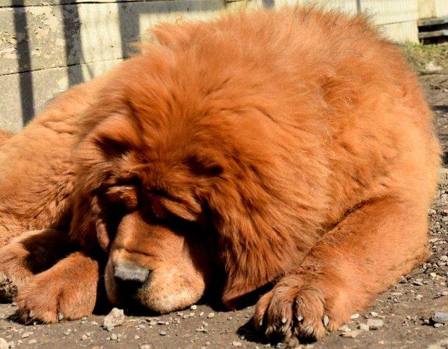 «Tibetan Mastiff Breeding Plans and Puppies for Sale». 11f48ec790bf