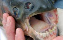 """В США рыба с """"человеческими"""" зубами отгрызает мужчинам гениталии  Cd7c120b6e4b"""