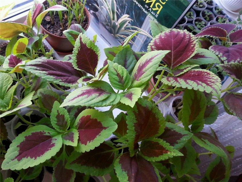 Садовые многолетние цветы - давайте меняться D4f7cd5e7908