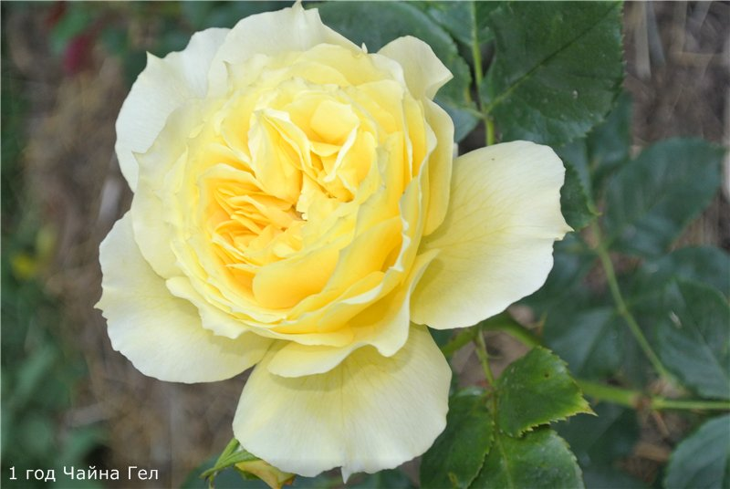 Розы-2013 5212a4fc3070