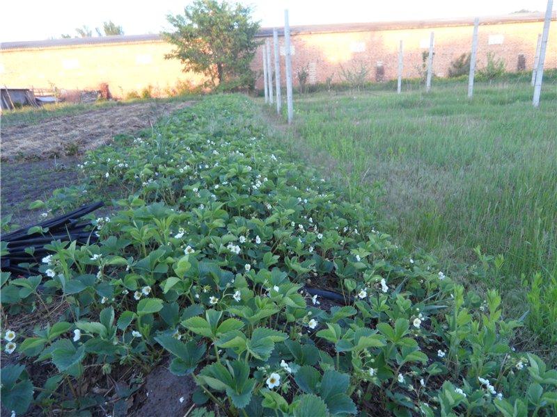 Земляника садовая  E4e47cdd441c