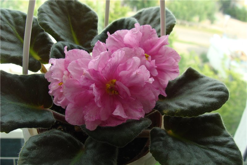 Весеннее  цветение (Хваст от Веры) - Страница 8 D22cc7741630