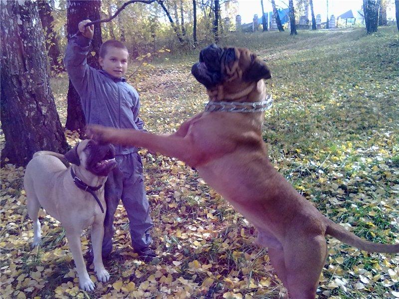 """Фотографии """"Бульмастиф и дети"""" 2db714c5cf80"""